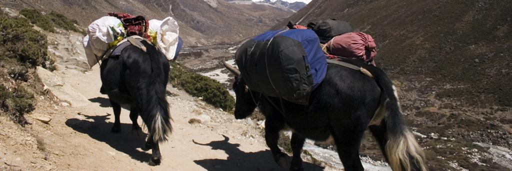 Balade en chariot à yaks