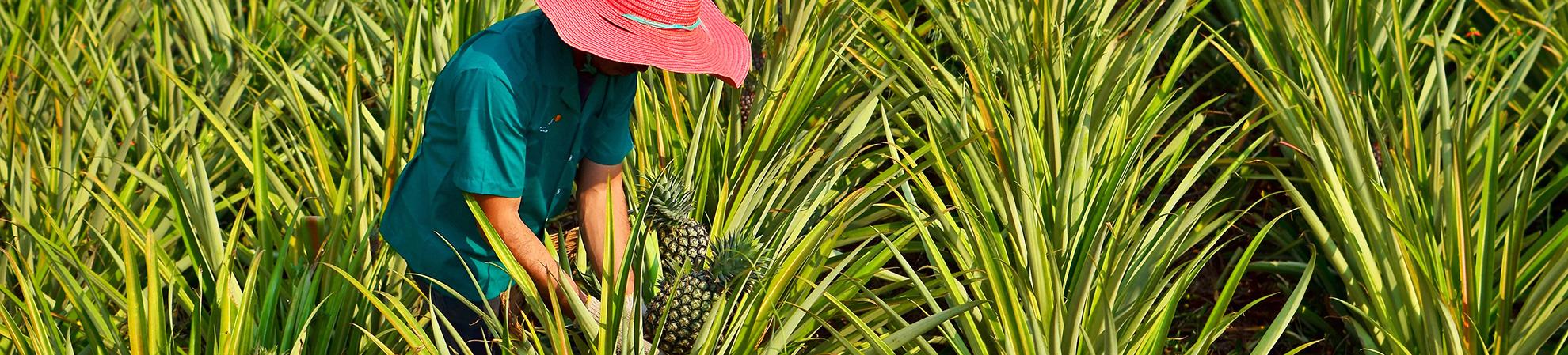 Visite d'une plantation d'ananas + dégustation
