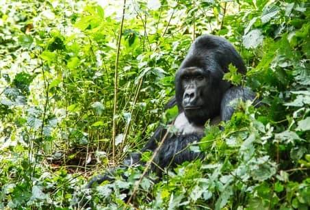 Rwanda et Congo : Gorilles et Volcans