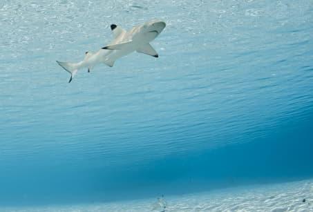 A la rencontre des Requins-Baleines !
