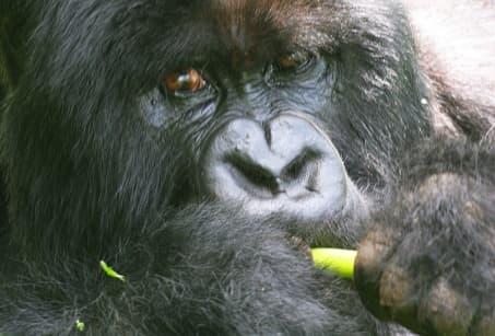 Rwanda-Ouganda, en territoire pygmée