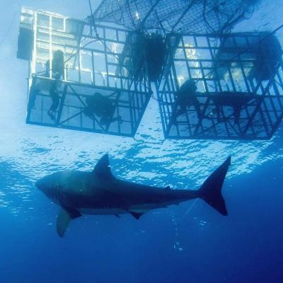 Nager à Gansbaai : plongée avec les requins