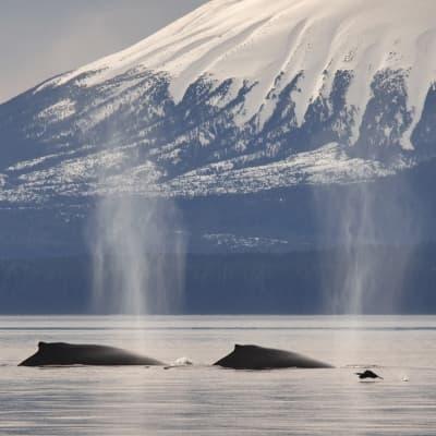 Observation des baleines à Sommaroy