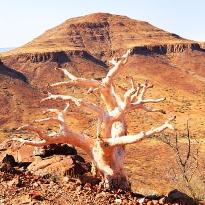 La Forêt pétrifiée du Damaraland