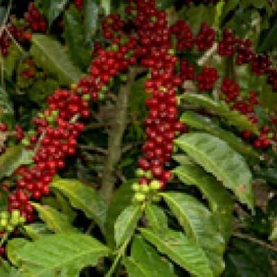 Visite d'une plantation de café à Coroico