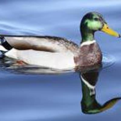 Les canards du Lac Brome