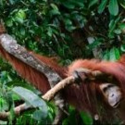Hiking in the footsteps of the wild orangutans