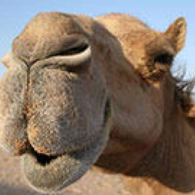 Sand Boarding et balade en chameau