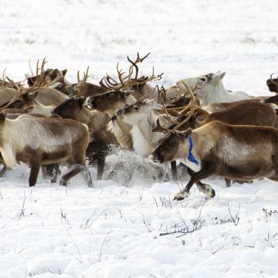 Journée avec les rennes