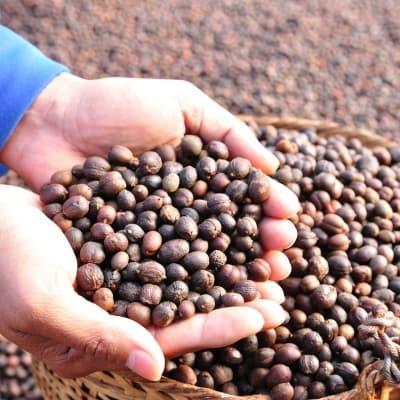 Visite d'une plantation de café au Laos