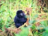 Gorilles et volcans