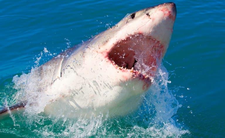 La plongée avec les requins à Gansbaai