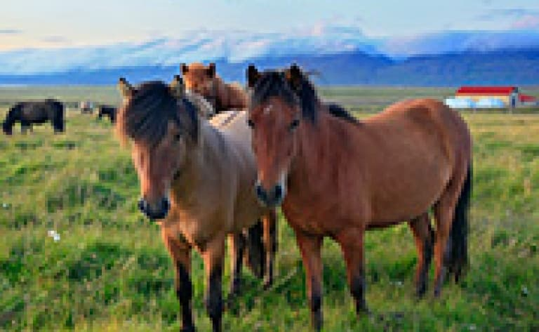 Balade à cheval à Skagafjörður
