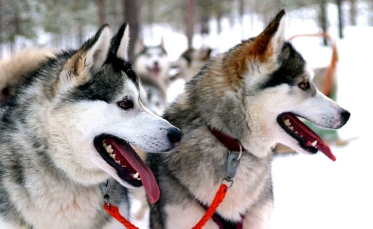 Balade en traîneau à chiens
