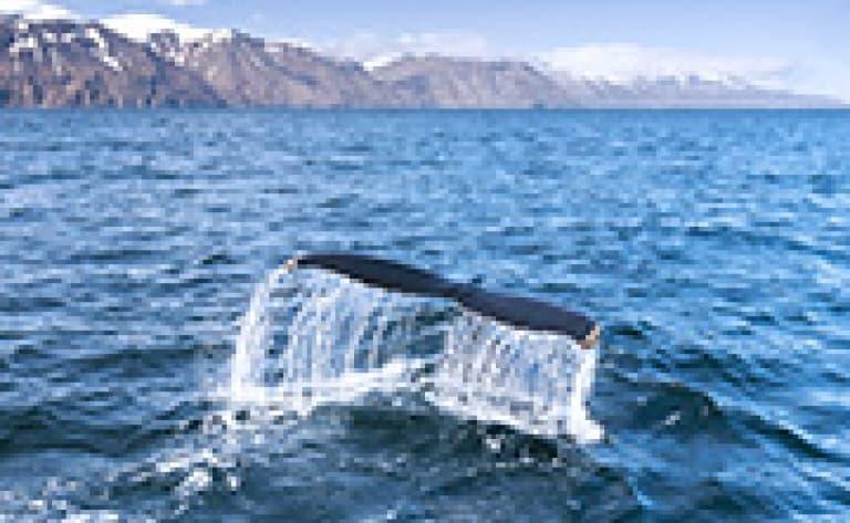 Observation des baleines à Dalvik