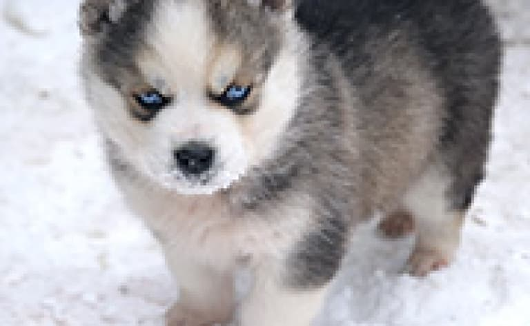 Raid en traîneau à chiens jusqu'à Sarfagajik