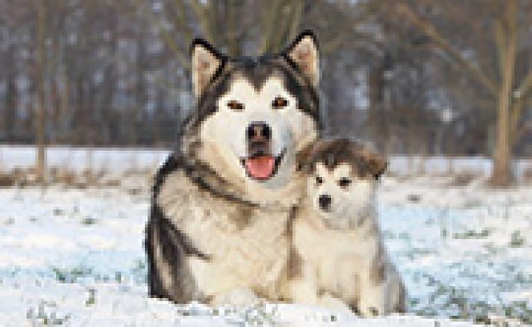 Rencontre avec des chiens de traîneaux