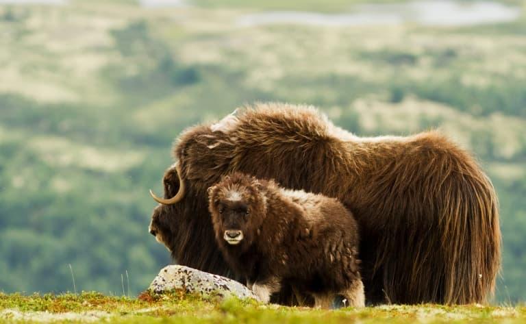 Safari à la recherche des bœufs musqués !