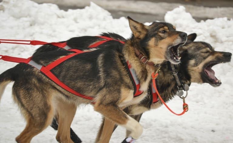 Traîneau à chiens en intérieur à Helsinki !