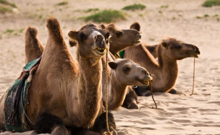 Diner chez les éleveurs de chameaux