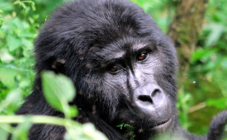 Les primates de la forêt luxuriante de Kibale