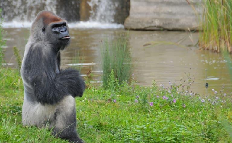 Sur les traces des gorilles des plaines orientales