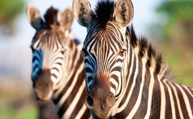 Dans le Parc Kruger, la plus grande réserve animale du pays
