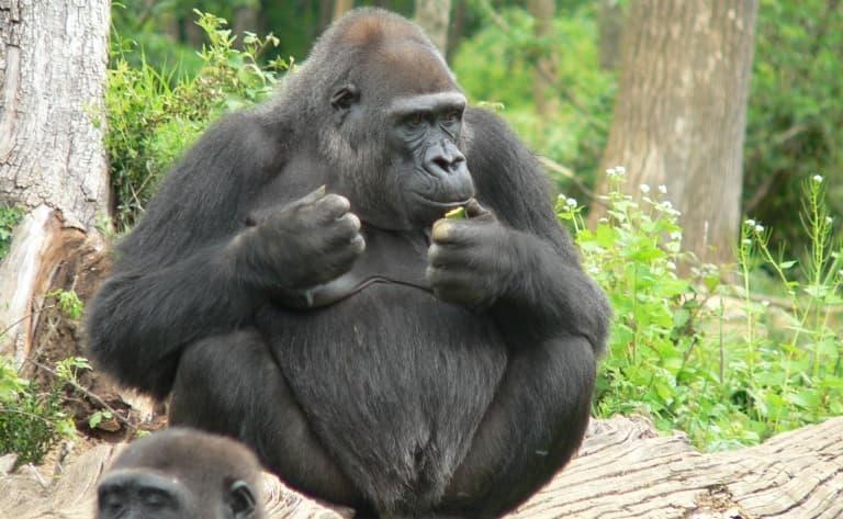 Bonjour Gorilles !