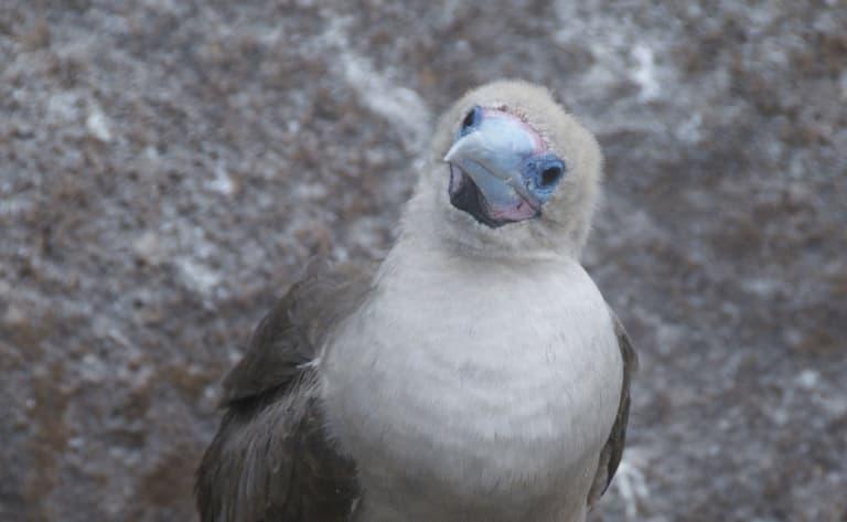 Les oiseaux de Genovesa