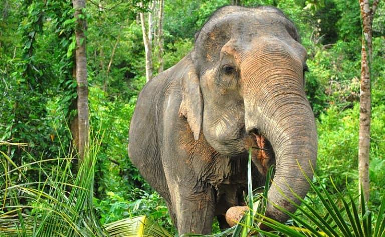 Eléphants de Surin