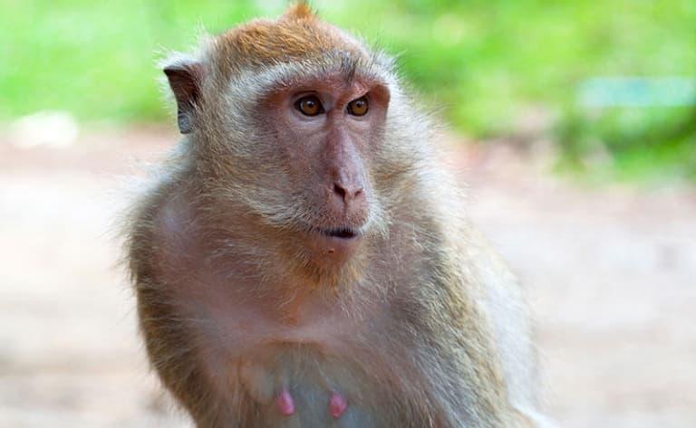 Lopburi, capitale des singes