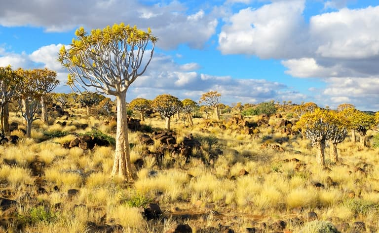 Insolite forêt de Kokerboom (480 km)