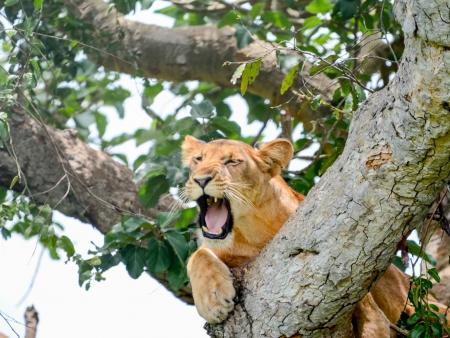 Lions dans les arbres et forêt impénétrable de Bwindi