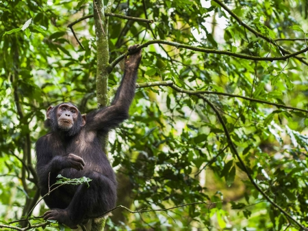 Habituation avec les chimpanzés