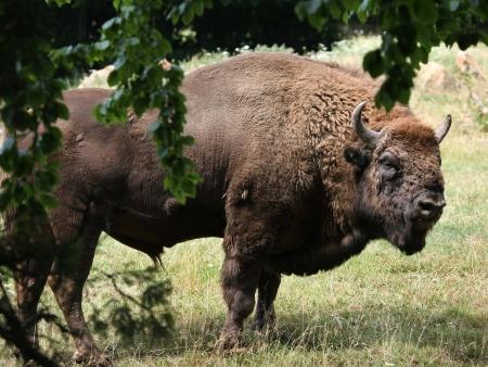A la découverte des Bisons avant le retour sur la France