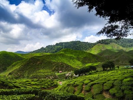 Plantations de thé et ferme aux papillons