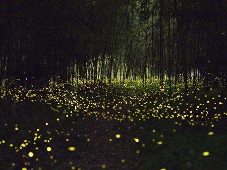 Magie des lucioles de Kuala Selangor