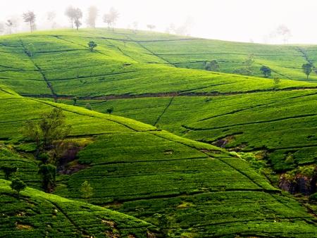 Nuwara Eliya, du thé, toujours du thé et encore du thé… !