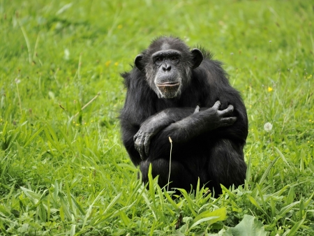 Chimpanzés de la Semliki