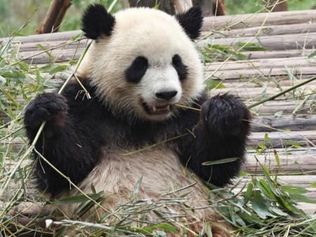Visite du Centre du Panda Géant et du temple Wenshu