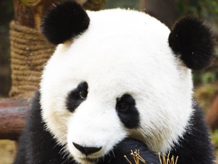 La réserve des pandas géants