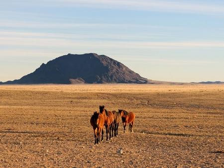 Les chevaux sauvages du désert