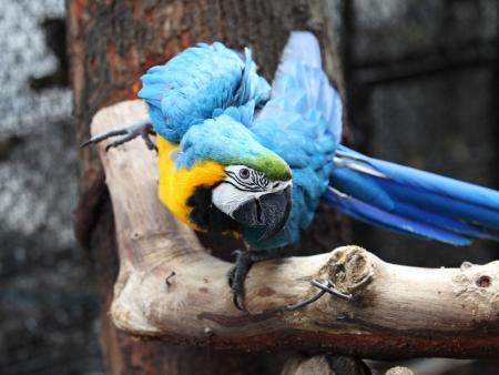 Perroquets d'Amazonie