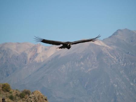 Les condors de la Cordillère des Andes